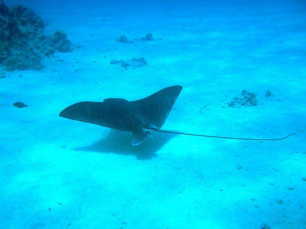 Manta zdjcie podwodne Morze Czerwone
