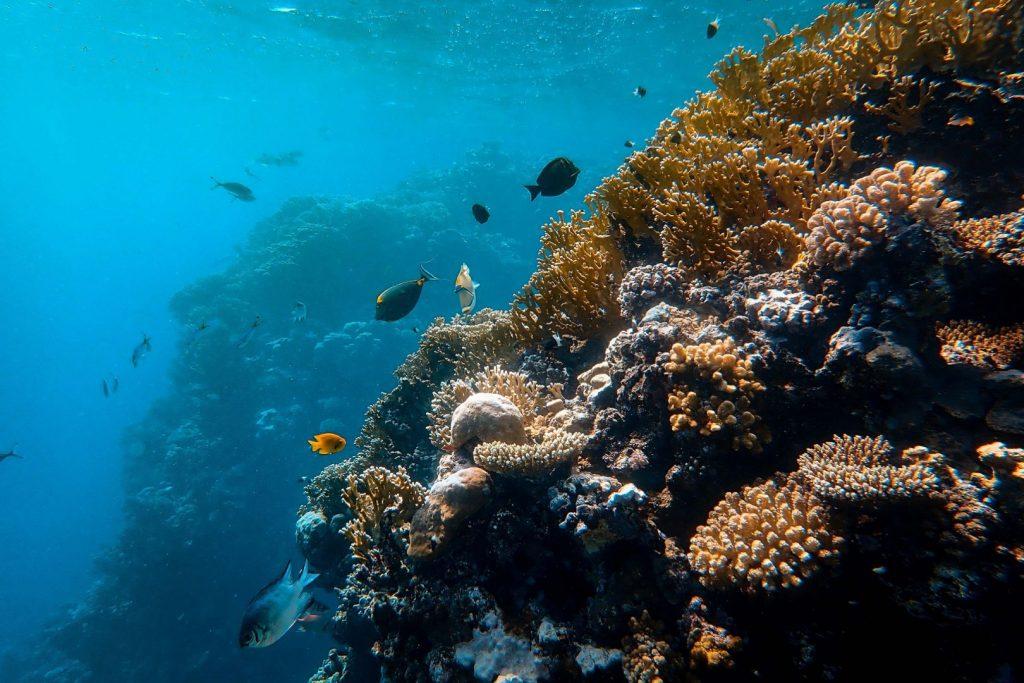małe rybki rafowe pływają przy rafie koralowej