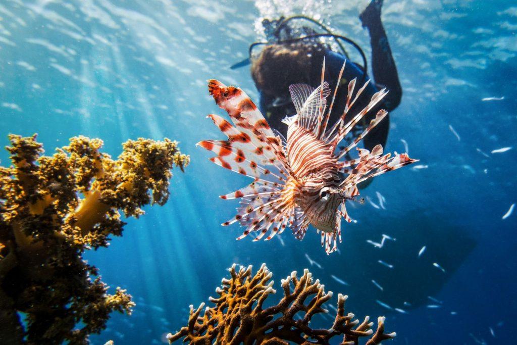 Skrzydlica podczas nurkowania w Zatoce akaba w Jordanii w Morzu Czerwonym
