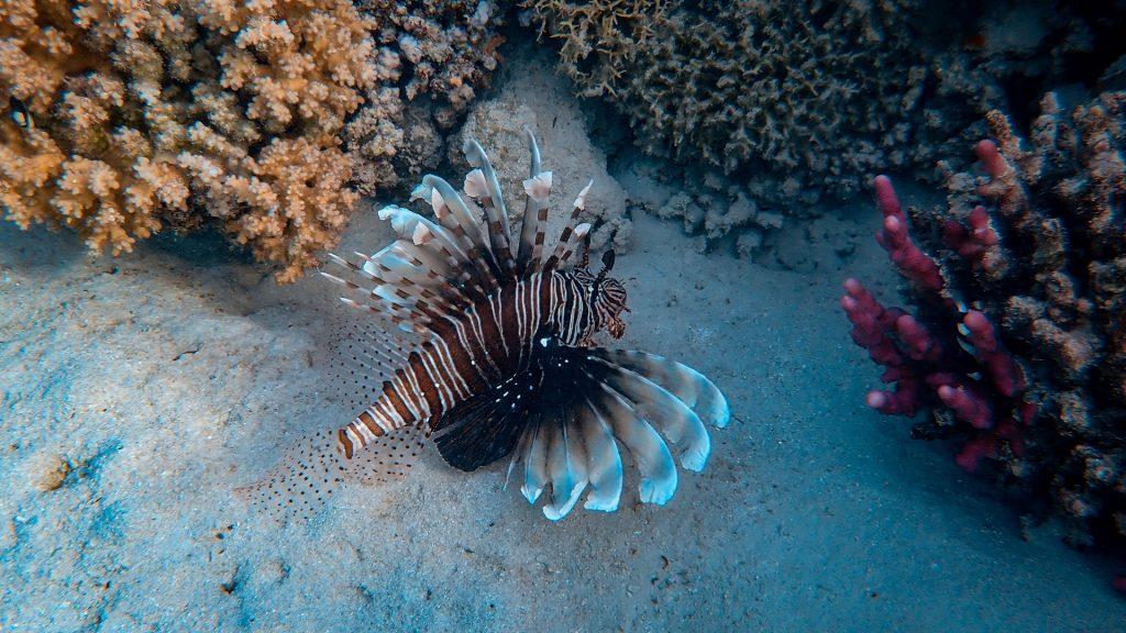 Skrzydlica podczas nurkowania przy rafie koralowej w Safadze