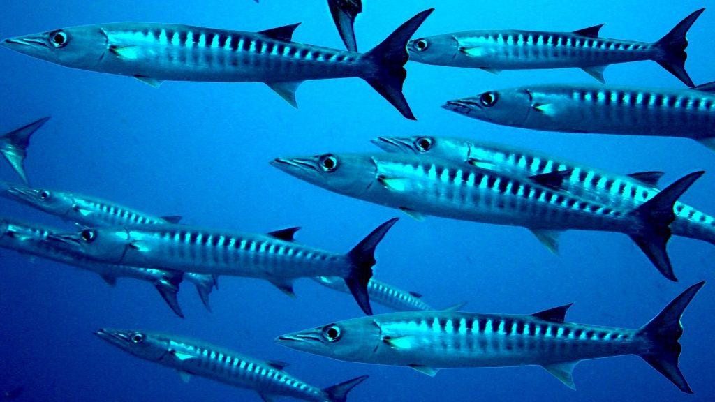 Zdjęcie podwodne ławicy barakud podczas nurkowania na Sardynii