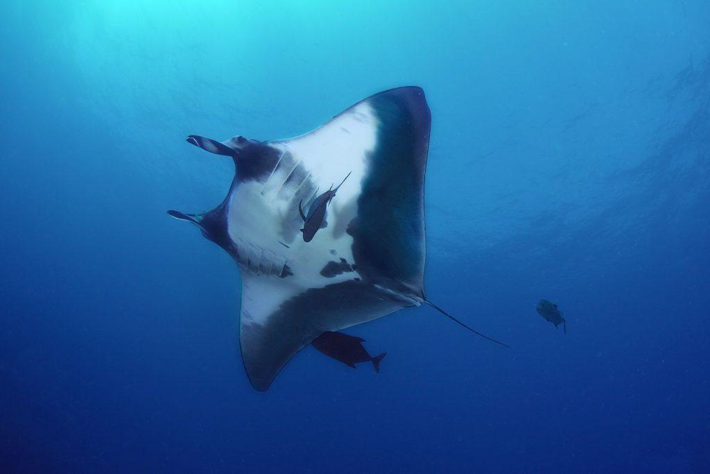 Manta oceaniczna podczas nurkowania w Archipelagu Revillagigedo w Meksyku