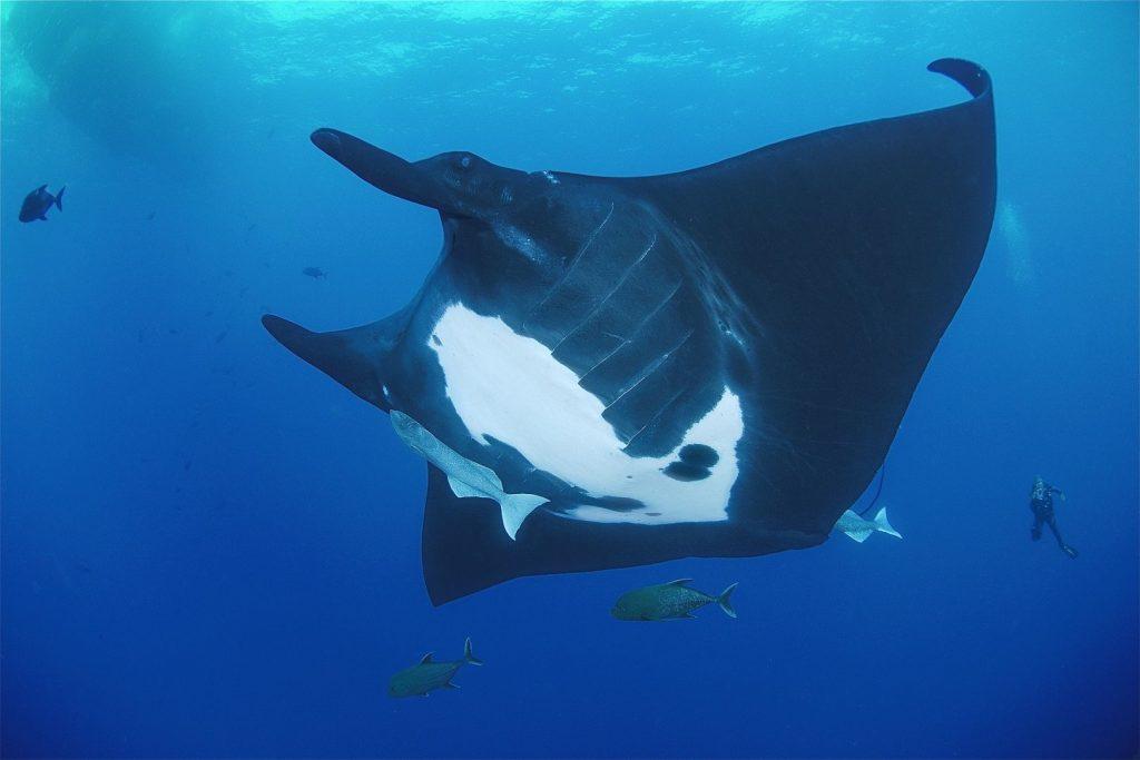 Ogromna manta podczas nurkowania w okolicy Wysp Socorro