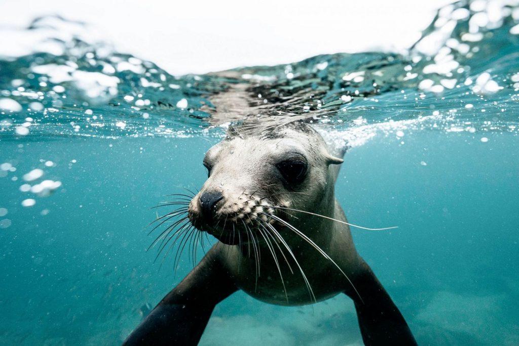 Uchatka kalifornijska pływa w Zatoce Kalifornijskiej w Meksyku